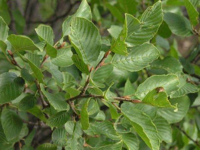 Ontano verde (Alnus viridis)
