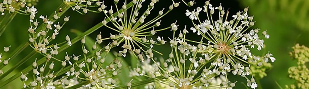 Peucedanum-ostruthium copia