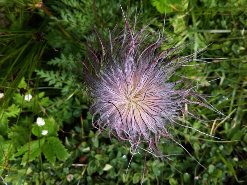 Pulsatilla alpina in seme